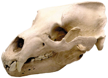 Grizzly Bear Skull w/Stand