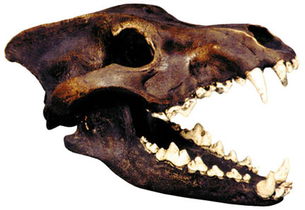 Dire Wolf Skull Antique
