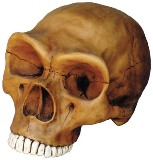 Neandertal Cranium w/ Stand American Made