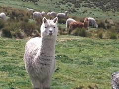 Alpaca Products