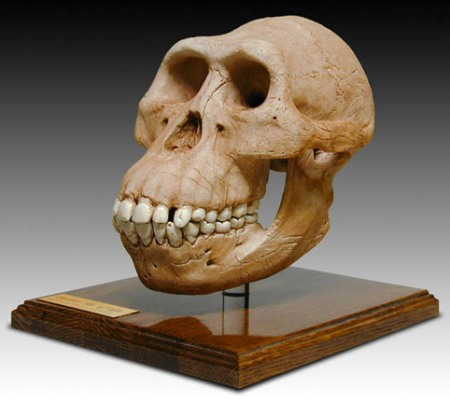 Australopithecus Afarensis Skull w/Stand Made in America