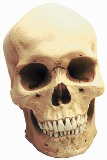 Human Male Skull American Made