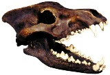 Dire Wolf Skull Antique American Made